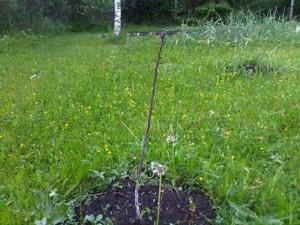 Сергей Лазарев растит дерево